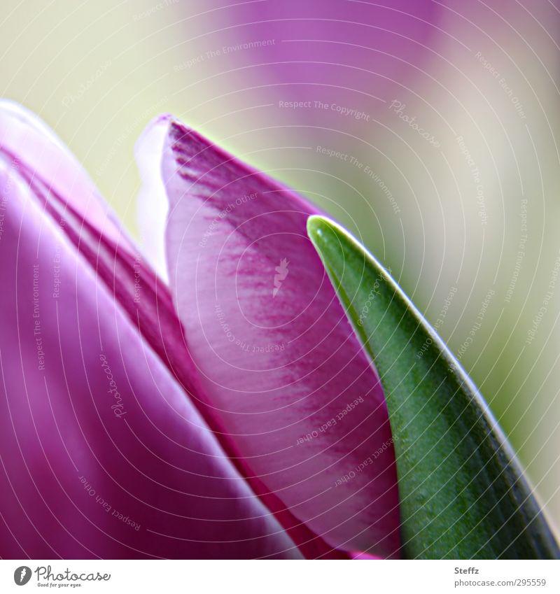 Nature Green Plant Flower Spring Blossom Bright Fresh Beginning Blossoming Joie de vivre (Vitality) Romance New Violet Tulip Blossom leave