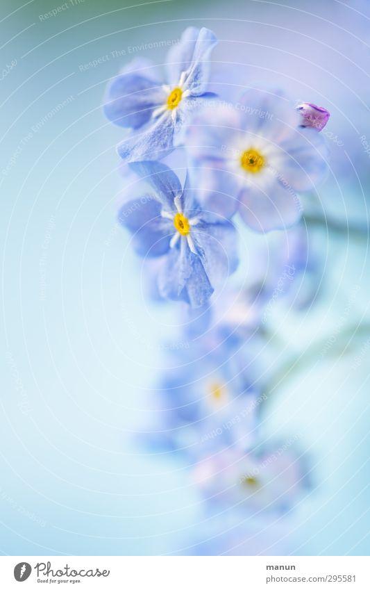 Nature Blue Plant Flower Spring Blossom Bright Natural Spring fever Spring flower Forget-me-not