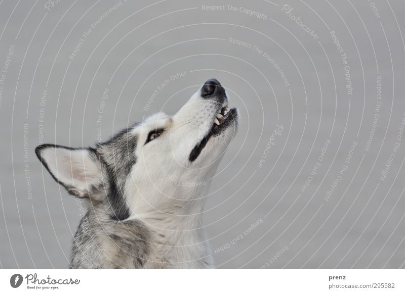with the wolves... Animal Pet Farm animal Dog 1 Gray Husky Sled dog Head Purebred dog Colour photo Exterior shot Deserted Copy Space right Copy Space top