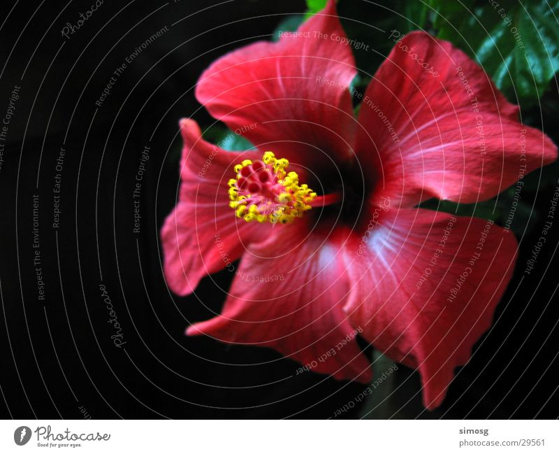 Nature Flower Red Blossom Hibiscus