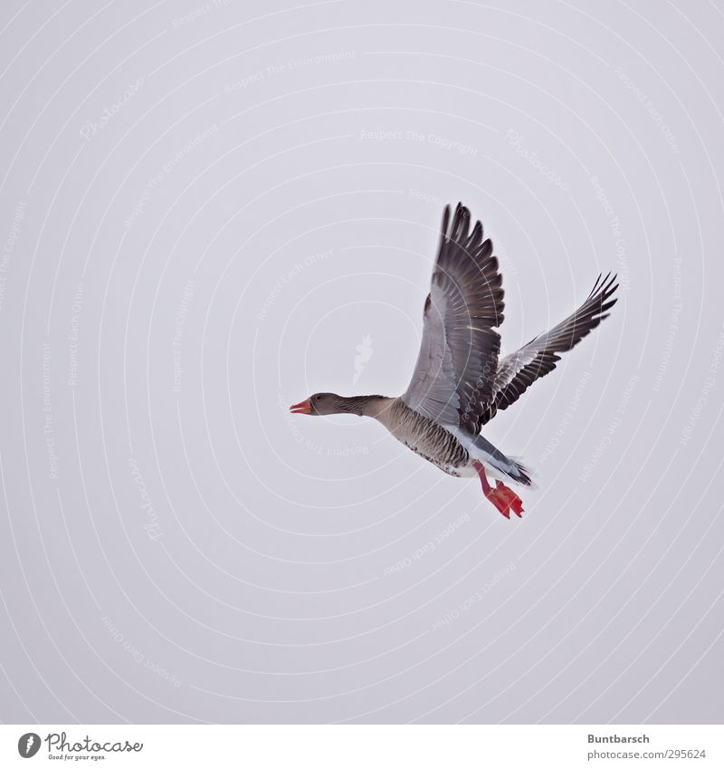 ... and then it takes off ... Animal Wild animal Bird Goose Gray lag goose 1 Movement Flying Fear Nerviness Floating Departure Colour photo Exterior shot