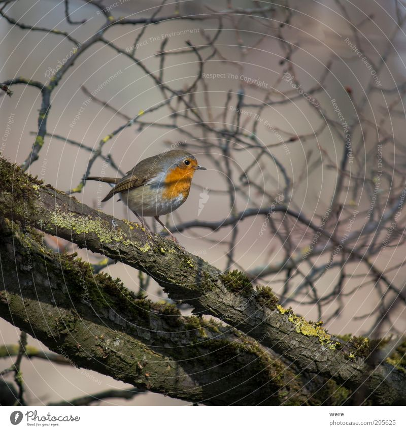 fly robin fly Nature Animal Tree Bird Small Branch feathers Grand piano Robin redbreast Erithacus rubecula Colour photo Exterior shot