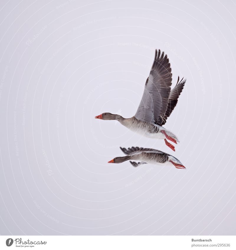 pair flight Animal Wild animal Bird Goose Gray lag goose Feather Beak Wing 2 Flying Natural Red In pairs Glide Hover Colour photo Exterior shot Copy Space left