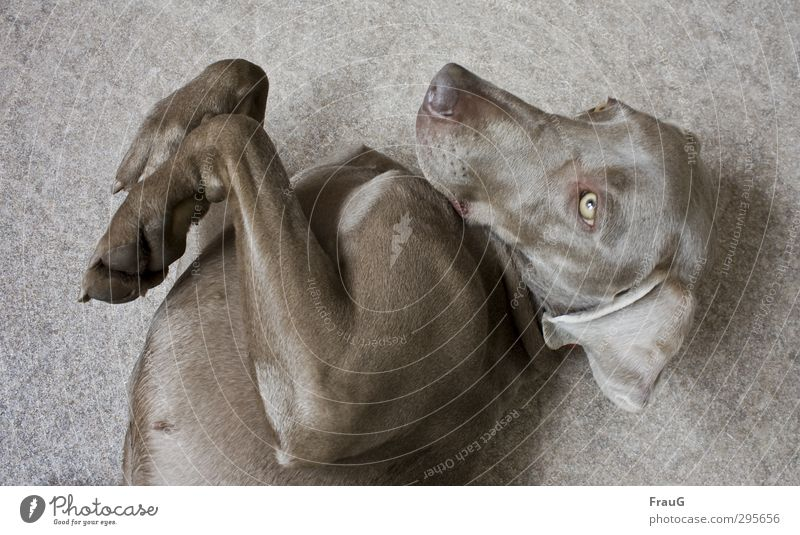 Scratch me, please! Elegant Relaxation Animal Dog Animal face Pelt Paw 1 To enjoy Lie Beautiful Feminine Anticipation Safety (feeling of) Friendship Weimaraner
