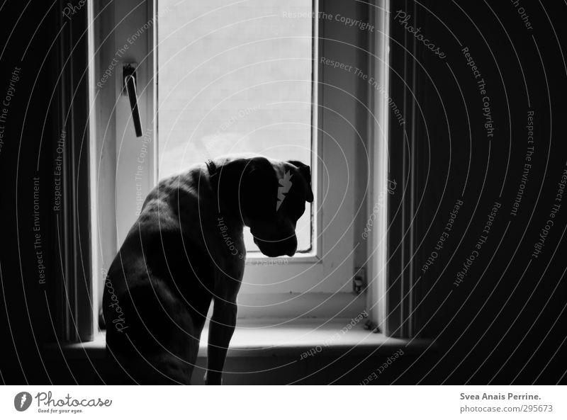 Iina. House (Residential Structure) Animal Pet Dog 1 Sadness Car Window Window board Boxer Black & white photo Interior shot Deserted Light Shadow