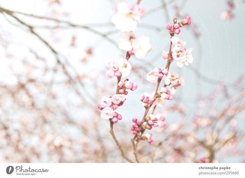 Hanami Plant Spring Beautiful weather Blossom Blossoming Exotic Bright Spring fever Nature Cherry Blossom Festival Cherry blossom Apple blossom Japan
