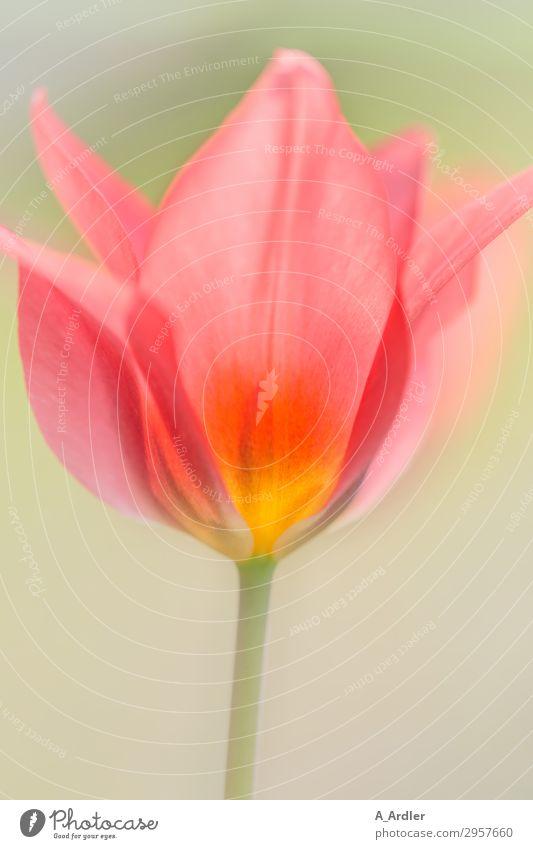 Tulip in bright colours ( Liliaceae ) Nature Plant Spring Beautiful weather Garden Blossoming Illuminate Esthetic Fragrance Bright Warmth Soft Multicoloured