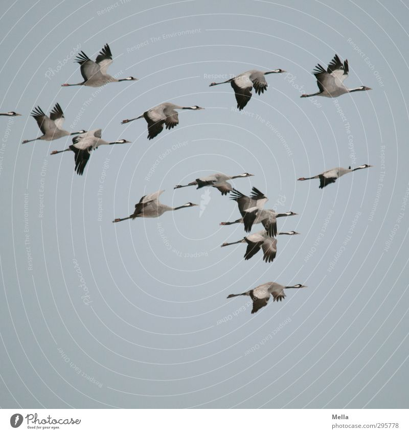 Just get out of here! Environment Nature Animal Air Sky Wild animal Bird Crane Group of animals Flock Flying Authentic Free Together Natural Freedom