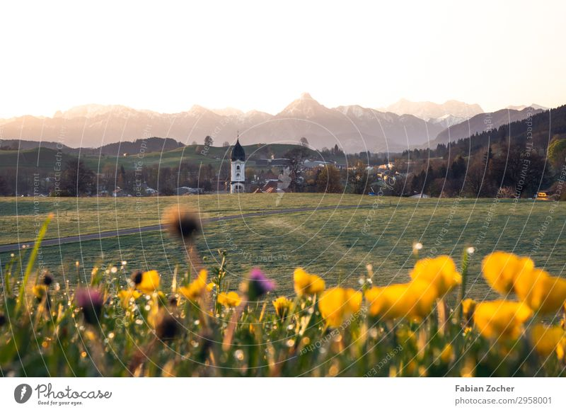 Flower meadow near Nesselwang Mountain Nature Landscape Earth Cloudless sky Sunrise Sunset Spring Clover blossom Crowfoot plants Dandelion Field Alps