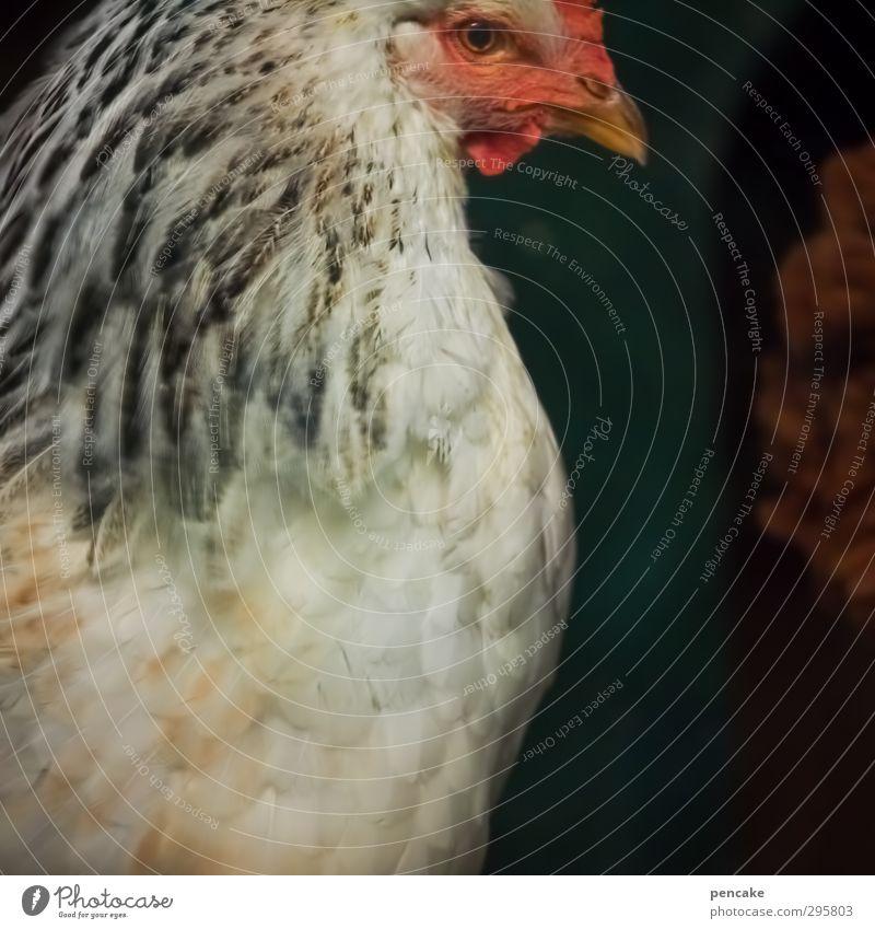 White Red Animal Relaxation Environment Esthetic Animal face Farm Pet Egg Pride Farm animal Barn fowl Senses Survive Innocent