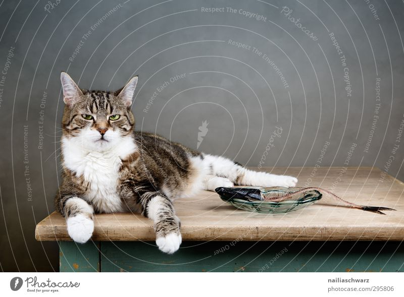 Cat Blue Animal Relaxation Funny Gray Eating Brown Lie Cute Observe To enjoy Round Fish Appetite Pet