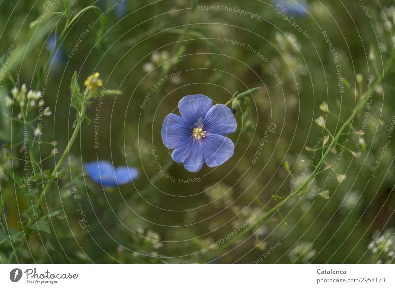 Flax blossoms and shepherd's purses Nature Plant Spring Flower Leaf Blossom Agricultural crop Wild plant Flax plants Meadow flower Garden Flower meadow
