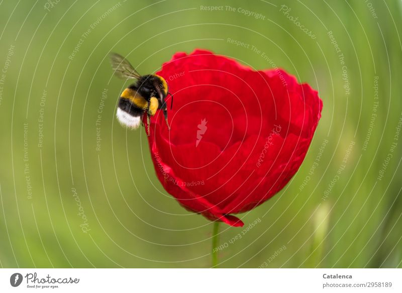 approach Nature Plant Animal Spring Flower Grass Blossom Poppy blossom Corn poppy Garden Meadow Field Bumble bee Insect bumblebee 1 Blossoming Flying Fat