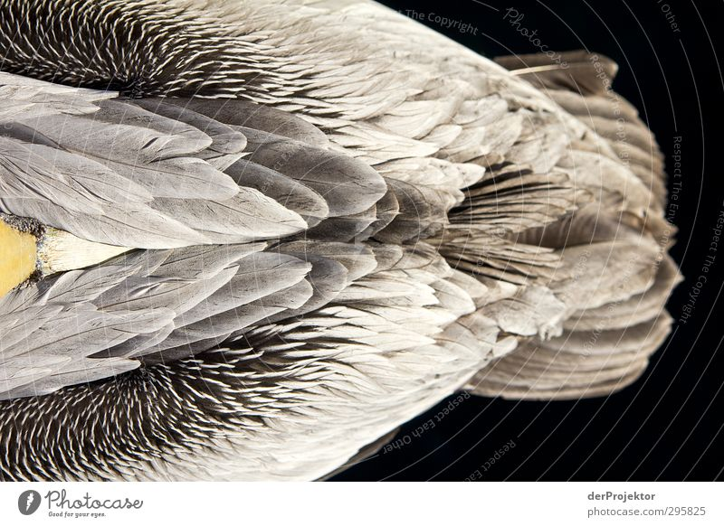 The structure of a pelican from a bird's eye view ;-) Environment Nature Animal Sunlight Spring Climate Lake Bird Zoo Pelican 1 Esthetic Athletic Authentic