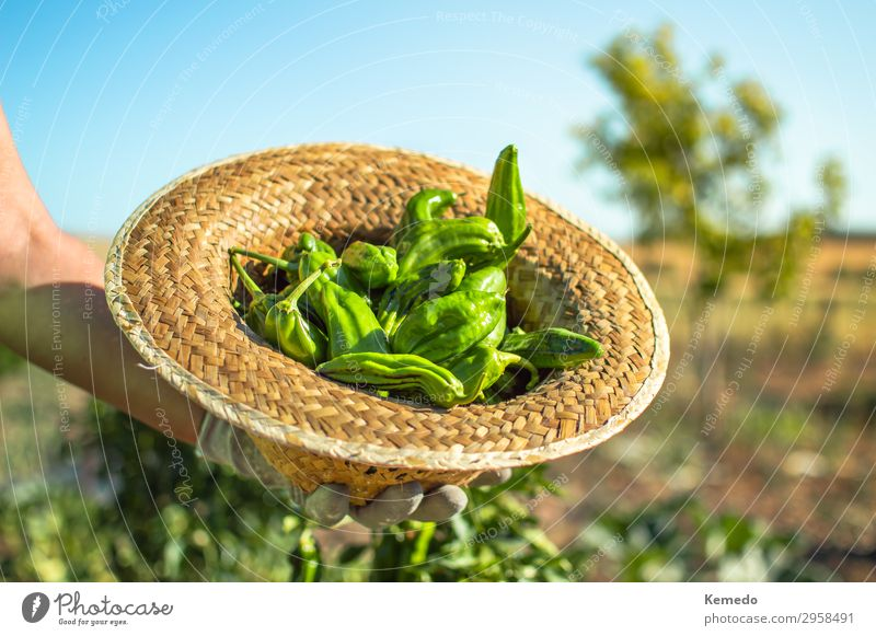 Female farmer holding a straw hat full of fresh green peppers. Food Vegetable Nutrition Organic produce Vegetarian diet Lifestyle Healthy Healthy Eating