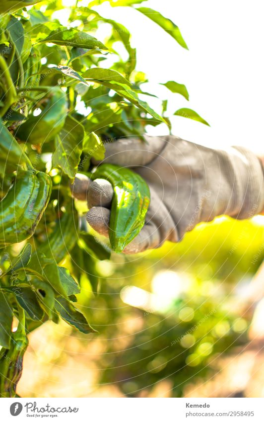 Hand with gardening glove picking a organic green pepper. Food Vegetable Nutrition Organic produce Vegetarian diet Lifestyle Healthy Eating Wellness Harmonious
