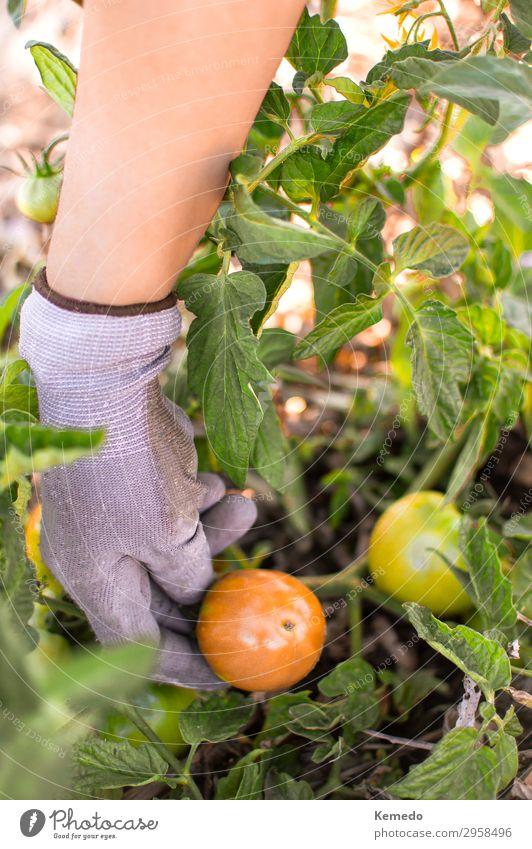 Farmer picking organic tomatoes from vegetable garden. Food Vegetable Fruit Organic produce Vegetarian diet Lifestyle Healthy Healthy Eating Wellness Harmonious