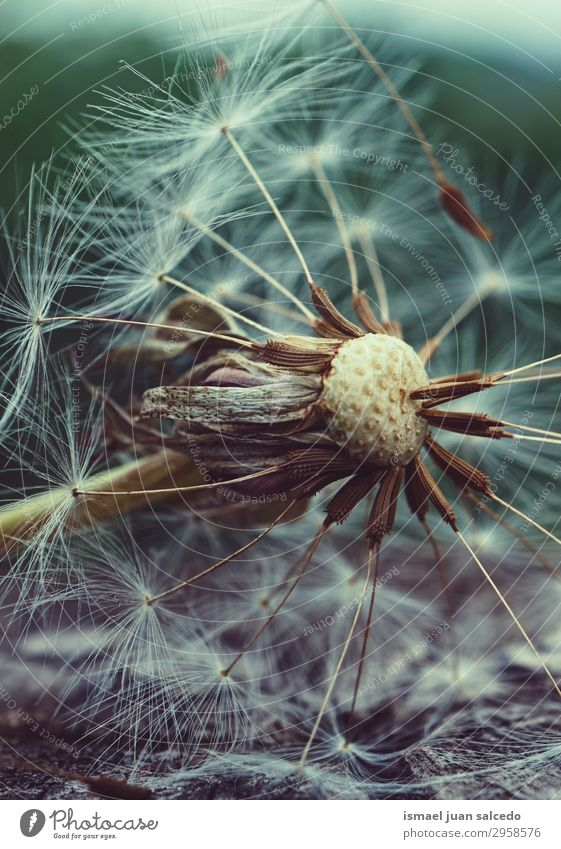 dandelion flower plant in summer in the nature Dandelion Flower Plant Seed Floral Garden Nature Decoration Abstract Consistency Soft Exterior shot