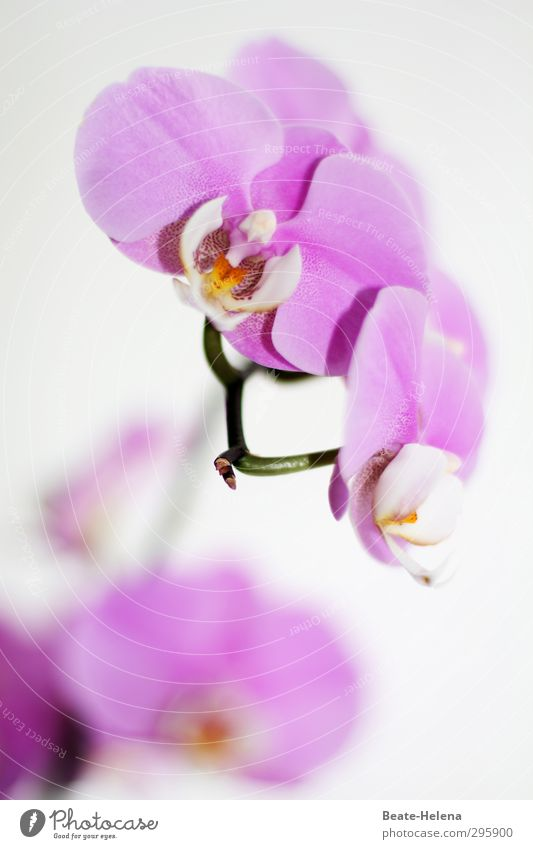 Nature Beautiful White Plant Colour Flower Yellow Blossom Exceptional Elegant Esthetic Blossoming Violet Fragrance Exotic Orchid