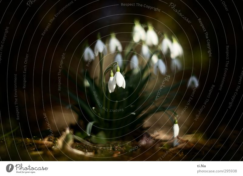 spring Spring Wild plant Snowdrop Garden Park Forest Blossoming Fragrance Hang Growth Elegant Beautiful Small Natural Cute Brown Green Black White Spring fever