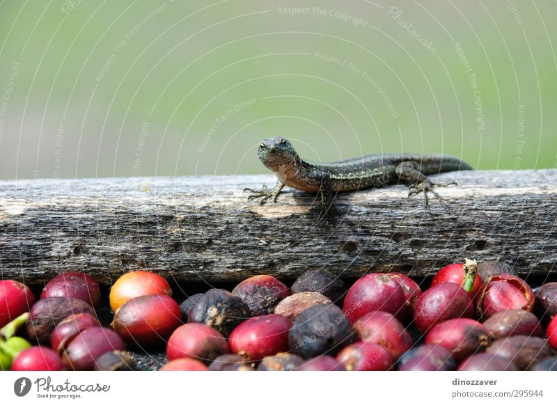 Lizard on fresh coffee grains Exotic Plant Animal Observe Fresh Small Cute Green Red agriculture close cofe drying food production seed lizard Reptiles colorful