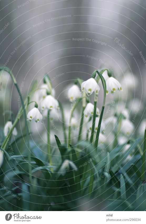Beginning of spring - white Environment Nature Plant Spring Flower Blossom Lily of the valley Green White Spring fever Colour photo Exterior shot Copy Space top