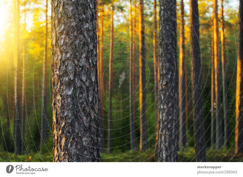 Pine Forest Nature Summer Tree Natural Scandinavia Finland Nordic Finnish