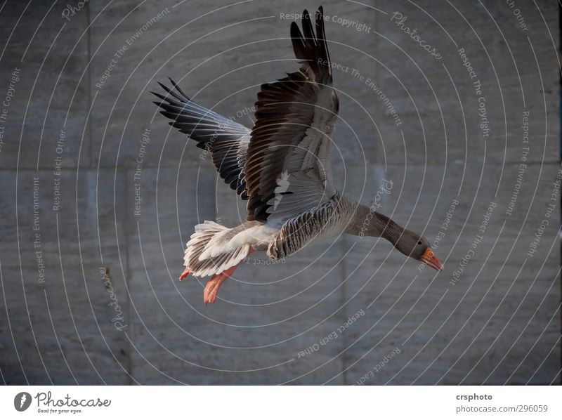 Ganter. Animal Wild animal Bird 1 Flying Hamburg Goose Appetite Go up Curiosity Plumed Beak Wing Duck Colour photo Copy Space bottom Day Animal portrait