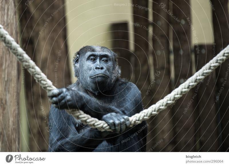 Animal Black Sadness Gray Brown Dream Wild animal Rope Animal face Zoo Paw Monkeys Gorilla