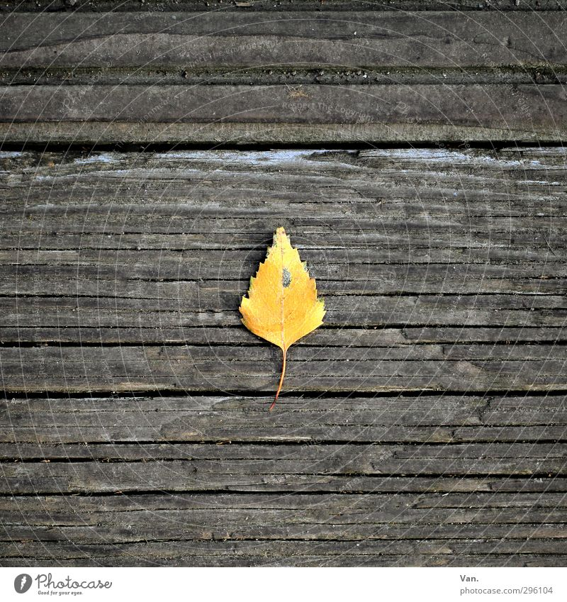 birch Nature Plant Autumn Leaf Birch tree Wood Yellow Gray Loneliness 1 Wooden board Seam Colour photo Subdued colour Exterior shot Close-up Deserted Day