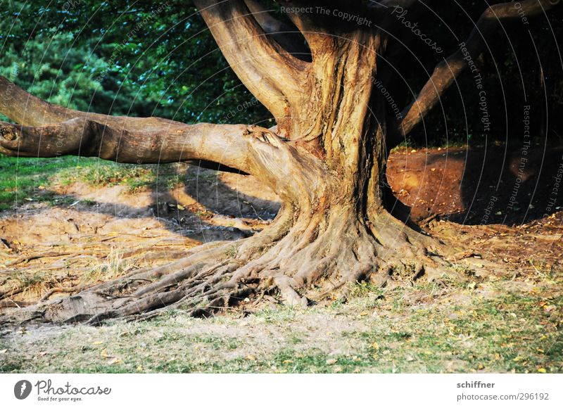 root sepp Environment Nature Plant Tree Park Old Rooted Tree trunk Tree bark Branch Dusk Illuminate Warm light Bushes Meadow Wisdom Furrow Burl wood