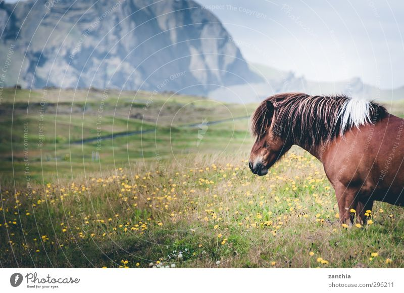 Iceland Horse 1 Animal Stand Happy Love of animals Calm Wanderlust Contentment Movement Relaxation Expectation Vacation & Travel Freedom Leisure and hobbies