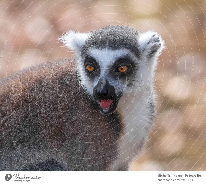Calling Monkey Nature Animal Sun Sunlight Beautiful weather Wild animal Animal face Pelt Monkeys Ring-tailed Lemur Half-apes Eyes Tongue Muzzle Ear 1 Observe