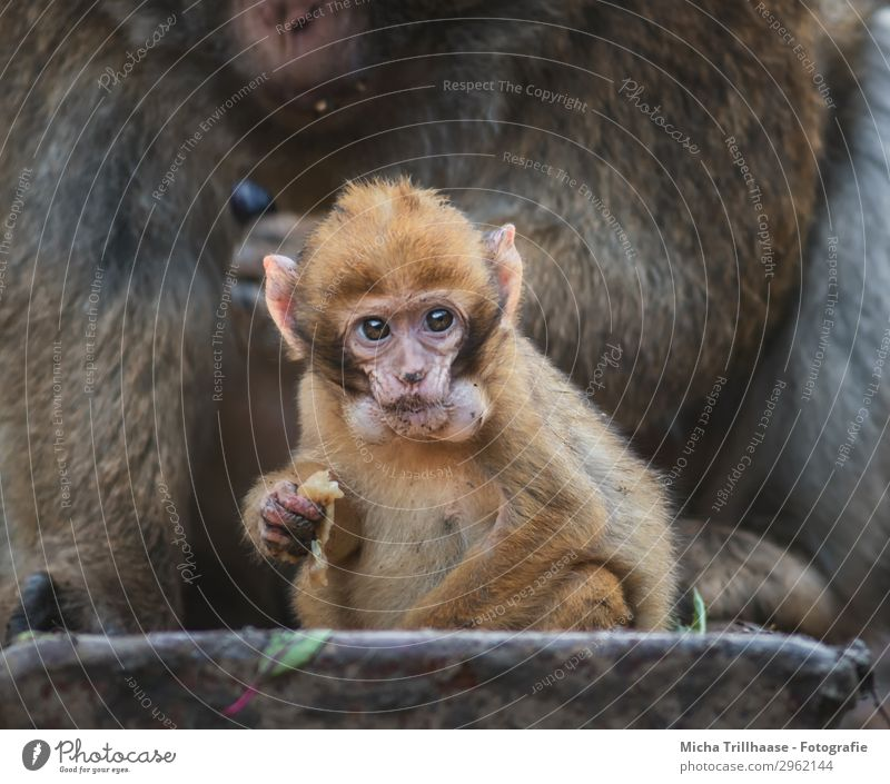 Baby monkey with hamster cheeks Nature Animal Sunlight Beautiful weather Wild animal Animal face Pelt Paw Monkeys Barbary ape Eyes Muzzle Ear Young monkey 2