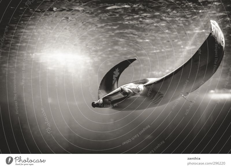 manta Animal Aquarium Devils ray 1 Swimming & Bathing Loneliness Uniqueness Elegant Life Ease Nature Vacation & Travel Calm Pride Environment