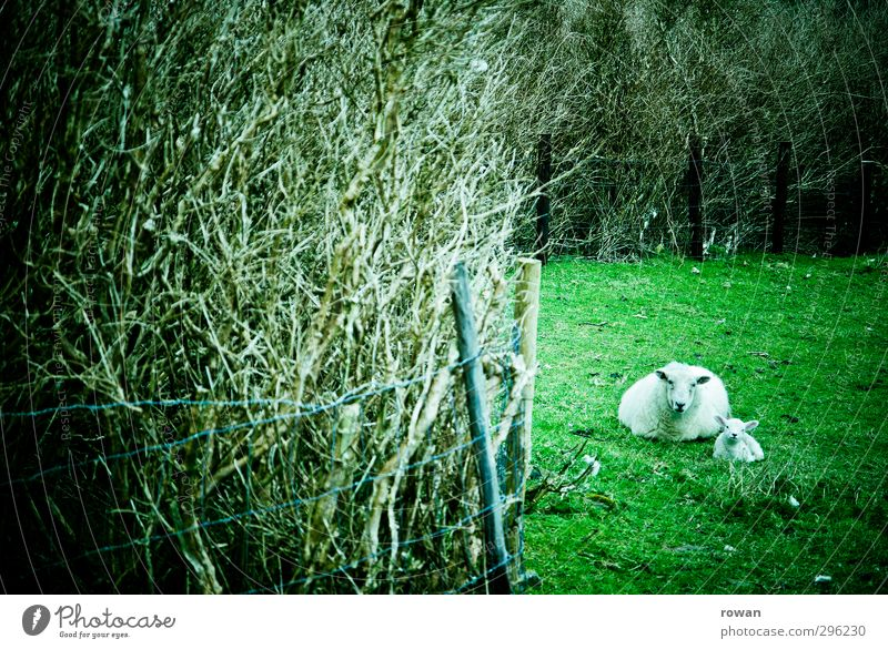 sheep mother Nature Animal Grass Meadow Field 2 Green Sheep Lamb Mother Hedge Hiding place Lie Calm Protect Safety (feeling of) Colour photo Exterior shot