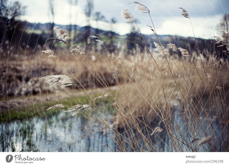 Nature Landscape Environment Autumn Grass Natural Wind Soft Common Reed