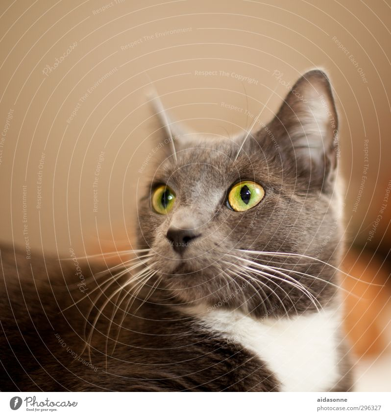 cat Pet Cat 1 Animal Glittering Beautiful Soft Close-up Colour photo Interior shot Neutral Background Artificial light Animal portrait Looking away