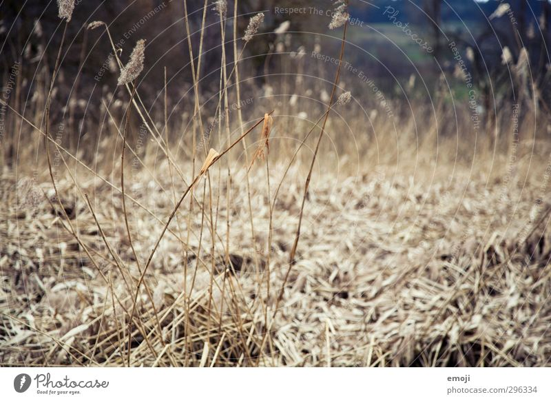 grasses Environment Nature Landscape Plant Grass Natural Dry Brown Gray Common Reed Colour photo Subdued colour Exterior shot Deserted Day