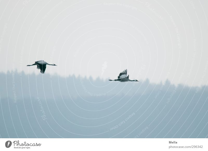 pull Environment Nature Landscape Animal Air Sky Forest Wild animal Bird Crane 2 Pair of animals Flying Free Natural Freedom Calm Flock of birds Colour photo
