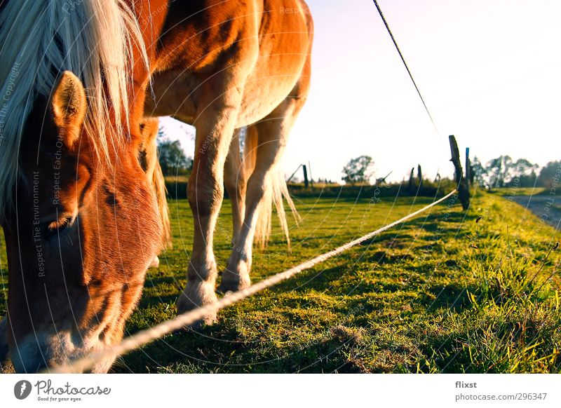 meal. Landscape Spring Beautiful weather Field Farm animal Horse 1 Animal To feed Colour photo Exterior shot Copy Space right Day Sunlight Animal portrait