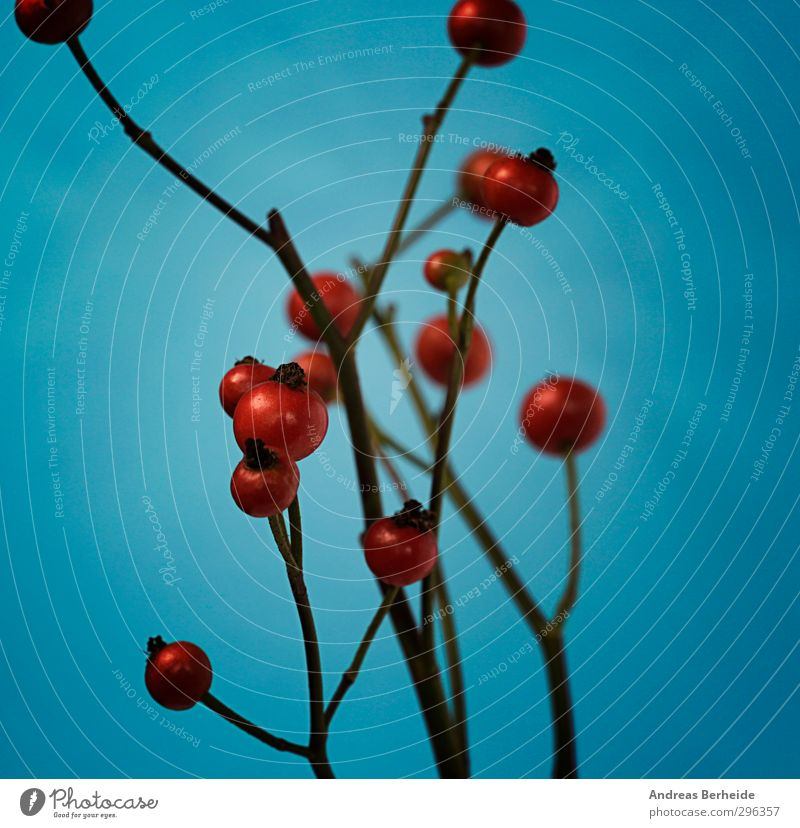 Blue Plant Red Calm Bushes Branch Berries Berry seed head