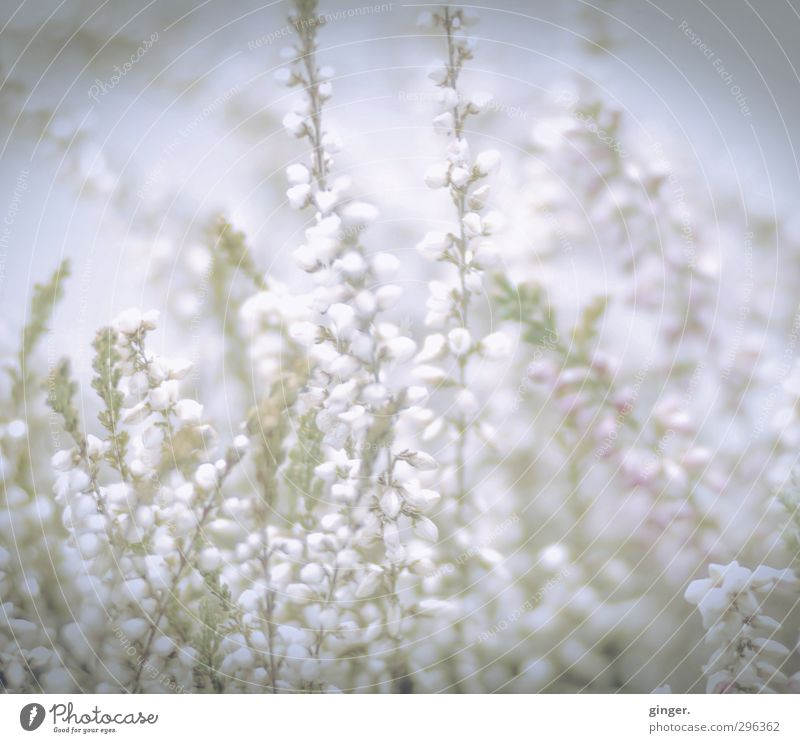 Nature Green Plant Flower Environment Bright Growth Soft Delicate Jewellery Agricultural crop Diffuse Graceful Vignetting Pastel tone Tenacious