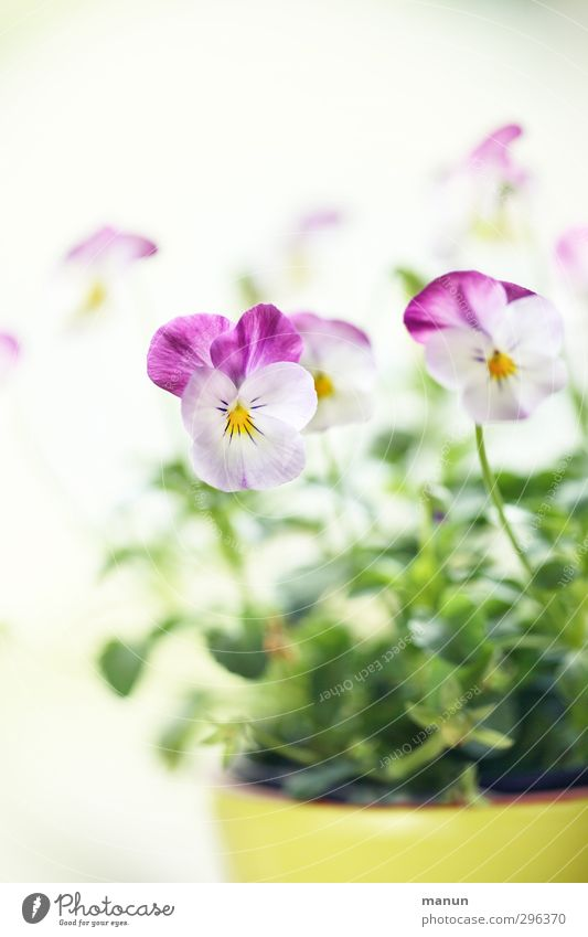 Nature Plant Spring Blossom Bright Natural Spring fever Pot plant Spring flower Pansy Spring colours