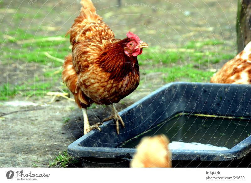 Chicken looks stupid Farm Barn fowl Rooster Transport Watering Hole water