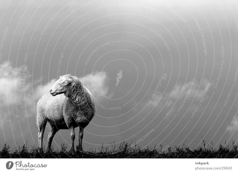 Alone? Sheep Clouds Gale Lawn Loneliness Wind Rain