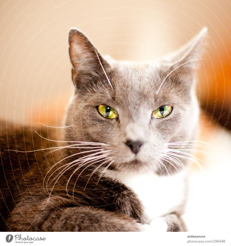 beast Pet Cat 1 Animal Contentment Watchfulness Serene Calm Timidity Colour photo Interior shot Deserted Neutral Background Flash photo Animal portrait