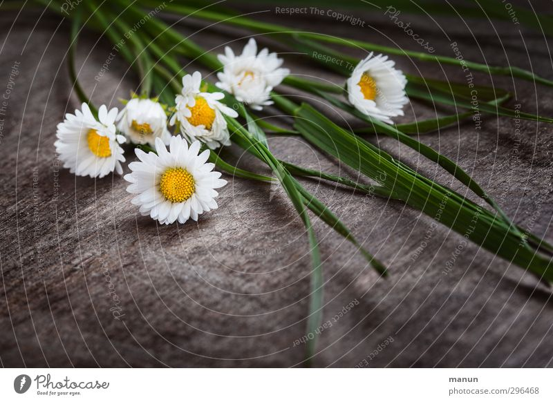 Daisy plucked Mother's Day Nature Spring Flower Grass Blossom Spring flower Bouquet Wood Blossoming Lie Natural Spring fever Colour photo Deserted