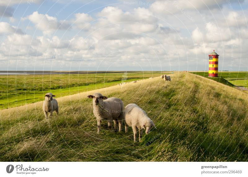 On the North Sea coast. Vacation & Travel Tourism Trip Cycling tour Summer Summer vacation Beach Ocean Landscape Grass Coast Lighthouse Sheep Flock Pilsum
