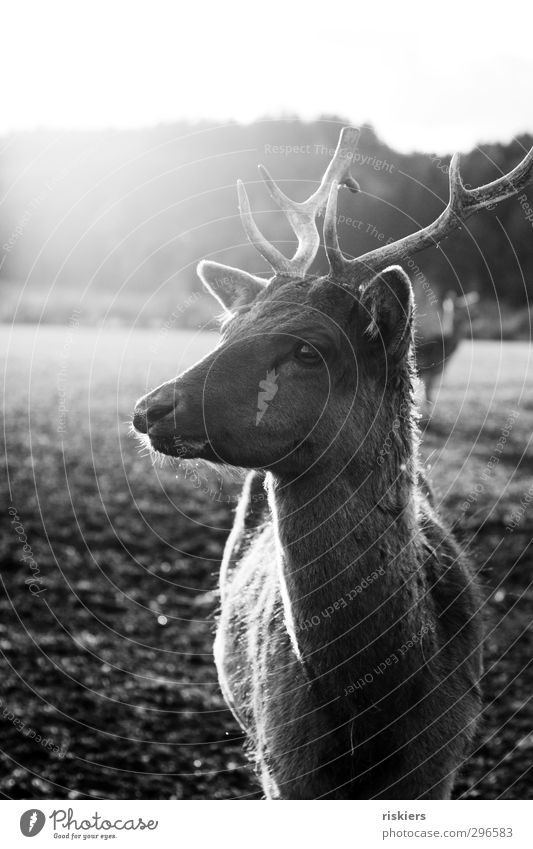 on the other side of the fence Environment Animal Spring Field Farm animal Wild animal Deer Roe deer 1 2 Observe Listening Illuminate Looking Stand Wait Natural